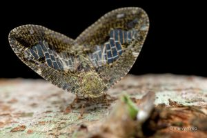Beautiful Planthopper by melvynyeo