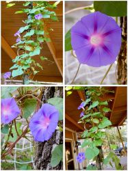 Donna's Morning Glory by Minaberries