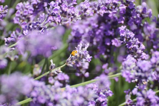Ladybug on Lavender by ChinookDesigns