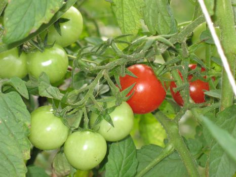 Tomato Contrast by cubs2084