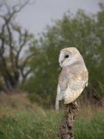 Common Barn Owl 1 by lauratje86