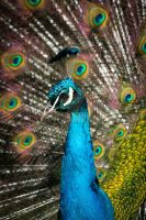 Fanciful feathers - Indian Peacock by Spirit-whales