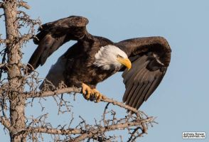 Bald Eagle: prelaunch wing test by jaffa-tamarin