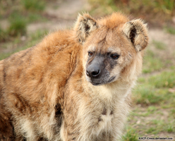 Spotted Hyena Portrait by RHCP-Cream