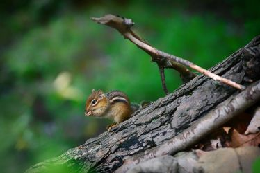 Chipmunk by BlackRoomPhoto