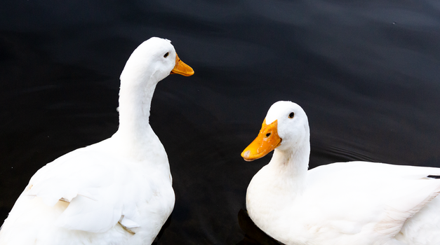 White ducks by AaronMk