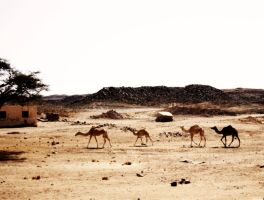 Feral Camels by Superbiaa
