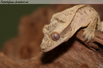 Crested Gecko by FantasticFennec