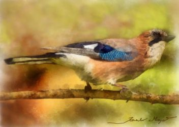 Jay by A2812