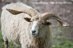 Sheep stock 1 by Colourize-Stock