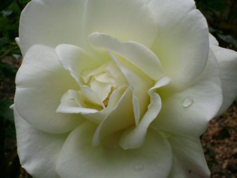 Soft white rose by snoogaloo