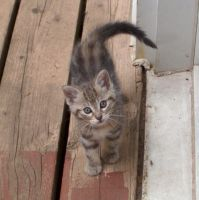 Thick striped kitten looking up by Ripplin