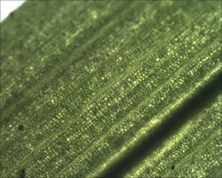 Microscope: Grass Blade by Soldeen111
