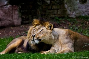 lion love by PiTurianer