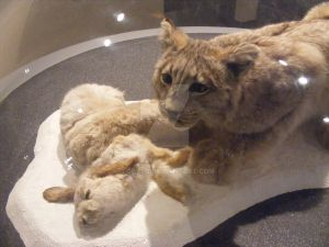 Halifax History Museum - Hare and Lynx