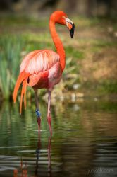 Pink flamingoo by Junisek