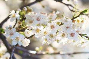 Blossoms 7 by wfpronge