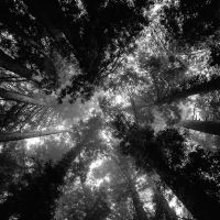 Redwoods by jonniedee