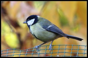 great tit 3 by 21711