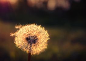 Dandelion by MoonKey19