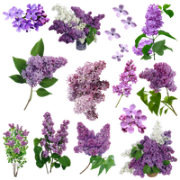 Flores Lilas PNG by nayareth
