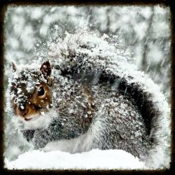 Gray Squirrel by TheMorRioghain
