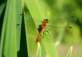 Dragonfly by mandeax