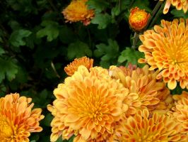 .stock: orange chrysanthemums. by guavon-stock