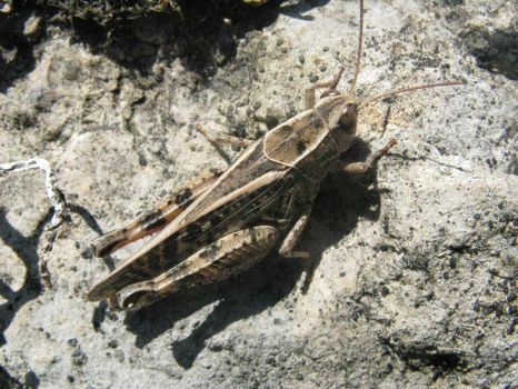 Camouflaged grasshopper by mozilla-fan