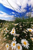 Swirling daisies by d-minutiv