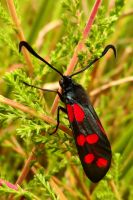 The 6 spot Burnet by Stilleschrei
