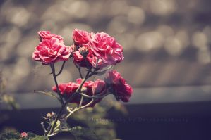 Rose Bush by DevchonkaLucky