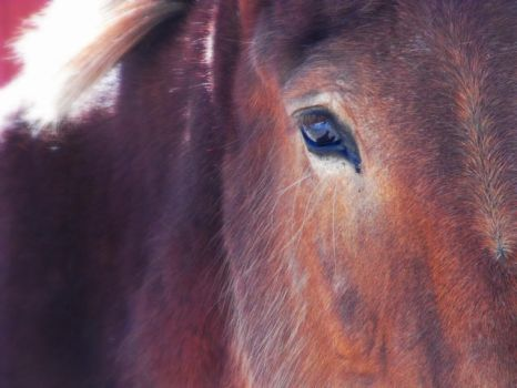 Horse that sees you at the Sedgwick County Zoo by HCangel