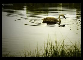 lonely swan by adypetrisor