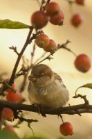 Sparrow in a mini-apple tree by steppeland