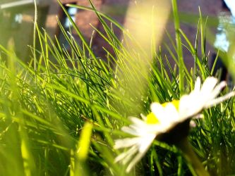 Grass And Daisy by Allexiiale