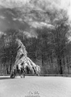Winter Pine by Dshill845