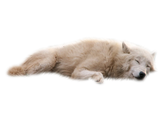 White Wolf PNG by RAYNExstorm