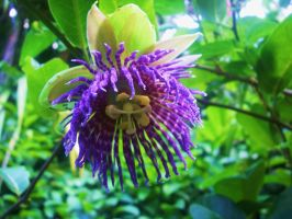 Passionfruit flower by chrystalization
