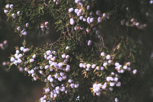 Pine Berries by ethan-png