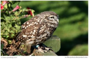 Burrowing Owl Visits 71 of365 by In-the-picture