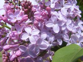 beautiful lilacs by BlueIvyViolet