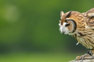 Peruvian striped owl by DrHamster