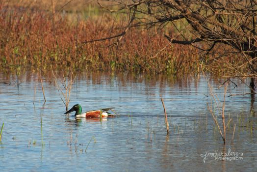 Mr. Duck by lanephotography