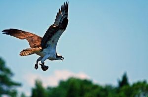 Osprey 1 by rdswords