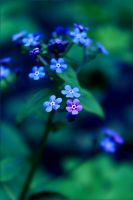 forget-me-not by hv1234