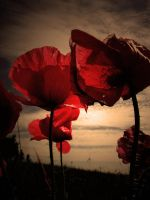 poppies on the evening by nieraviel