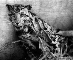 Bornean Clouded Leopard by snowdragon1