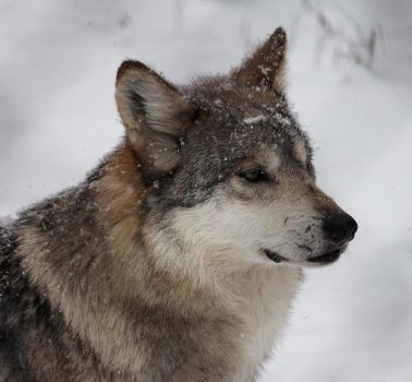 Winter Wolf by cindy1701d