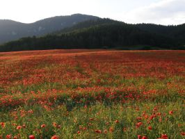 Stock- Poppy field by Zuzu136